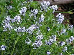 native plants of arkansas random plant fact amsonia hubrichtii arkansas blue star ru