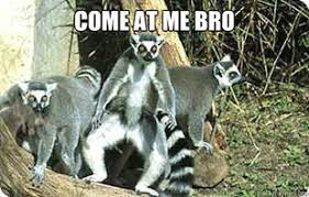 Lemur Meme - lemur meme 28 images chill out lemur just stop memes lemurs