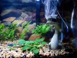 top fin balinese with airstone aquarium ornament