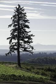 fir tree douglas fir pencil and in color fir tree