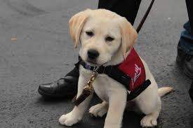 How Does A Guide Dog Help A Blind Person Freedom Guide Dogs For The Blind America U0027s Charities
