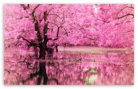 pink trees reflected in water wallpapers tree hugger