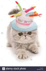 exotic kitten wearing a happy birthday hat stock photo royalty