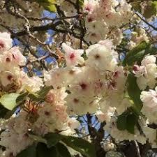 flowering trees home ornamental trees flowering cherry trees