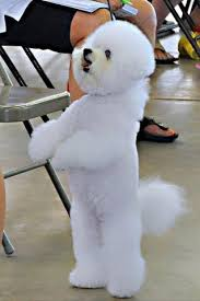 bichon frise whining 205 best bichons images on pinterest bichons bichon frise and