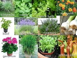 mosquito plants mosquito plants es citronella for sale houston tx singapore
