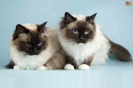 the uk u0027s top 10 most popular cat breeds pets4homes