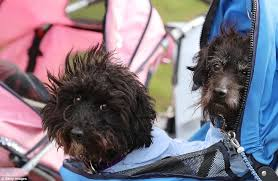 affenpinscher judging list thousands of dogs arrive at birmingham u0027s nec for crufts daily