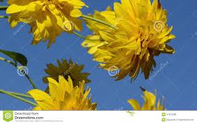 imagenes hermosas que se mueben las flores hermosas amarillas se mueven en viento en fondo del cielo