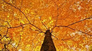 nature trees leaves color yellow autumn fall seasons foliage