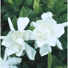 Gardenia Delivery Shop 2 Gallon White Frost Proof Gardenia Flowering Shrub Lw00231