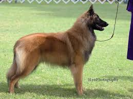 belgian sheepdog brown shumaker hills belgian tervuren upcoming litters