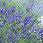 lavender labyrinth shelby mi cherry point farm u0026 market lavender labyrinth shelby michigan