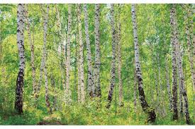 mural birch forest 2 wall mural birch forest 2