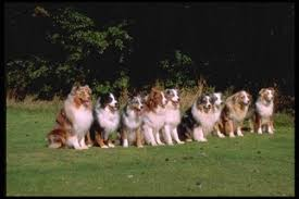 australian shepherd york miniature australian shepherd puppies and dogs for sale in usa