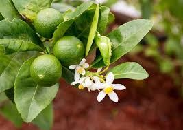 lime tree and fruit citrus genus britannica