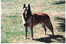 belgian shepherd 4 types question about belgian malinois german shepherd dog forums