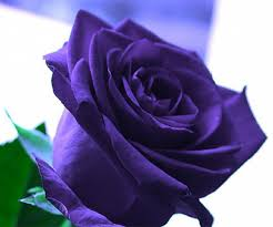 purple roses purple wallpapers android apps on play