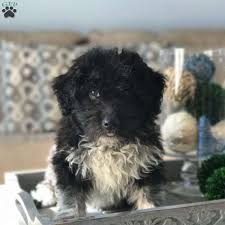 bluetick coonhound puppies indiana ross aussiedoodle miniature puppy for sale in indiana