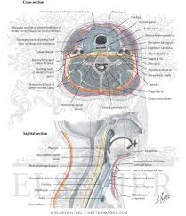 Neck Cross Sectional Anatomy Fascial Layers Of Neck