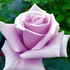 silver roses sterling silver hybrid tea fragrant heirloom roses