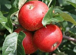 rosette apple trees for sale buy friendly advice