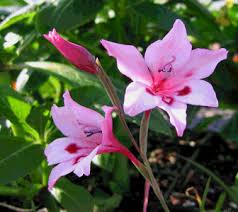 gladiolus flowers gladiolus flowers flower wallpaper