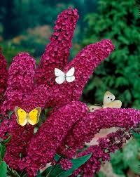 Flowering Shrubs For Partial Sun - 81 best shrubs u0026 trees images on pinterest flowers garden