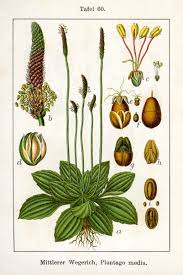 native american healing plants 5 wild medicinal herbs of the south every survivalist should know