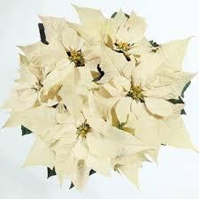 white poinsettia wintersun white poinsettia