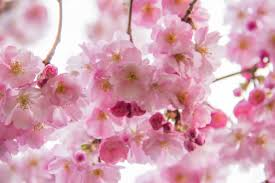 Cherry Blossom Facts by Climate Change Archives Bookworm Room