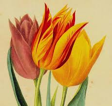 painted tulip flowers vintage lithograph poster print by