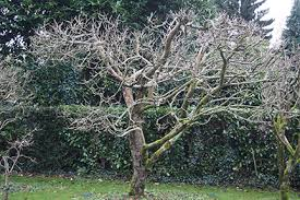 apples and pears pruning made easy rhs gardening