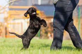 comment empecher mon chien de monter sur le canap mon chien saute sur les gens comment l en empêcher doctissimo