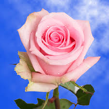 global roses pale pink roses global