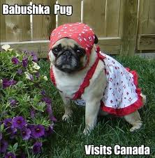 Birthday Pug Meme - 25 hilarious pug memes babble