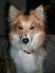 american eskimo dog what do they eat eskland u003d american eskimo shetland sheepdog hybrid dogs