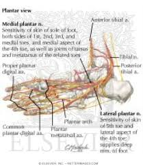 Foot Vascular Anatomy And Foot Arteries And Nerves Of The Sole