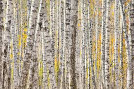 a poplar tree forest in autumn wall mural a poplar tree forest a poplar tree forest in autumn wall mural photo wallpaper