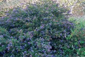 native flowering plants ceanothus u0027concha u0027 california native flowering shrub summer dry