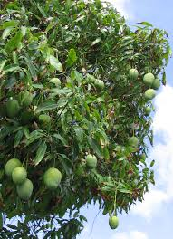 Best Fruit Tree For Backyard Shibata Mango Tree Eaten With Fish Sauce Is The Best Snack Ever
