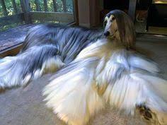afghan hound grooming styles 이건 아주 고급진개이름은 아프칸하운드 동물 pinterest