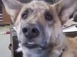 Dog Bacon Meme - funny dog voiceover youtube