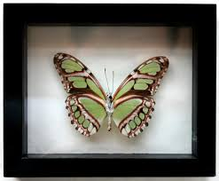 green philaethria dido framed butterfly in black flickr