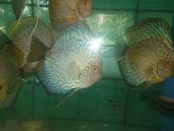 ornamental fish manufacturers suppliers of sajawati machhliyan