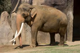 The Blind Men And The Elephant Analysis Asian Elephant Fact Sheet