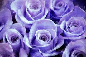 lavender roses soft lavender roses photograph by vick