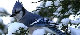 Ontario Backyard Birds Facts About Birds In Winter The Backyard Naturalist The