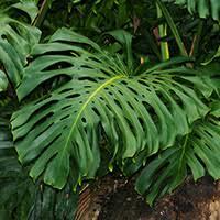 hawaii plants tropical foliage plants hawaiian plants and tropical flowers