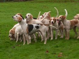 afghan hound saddle december 2009 full cry a hound blog
